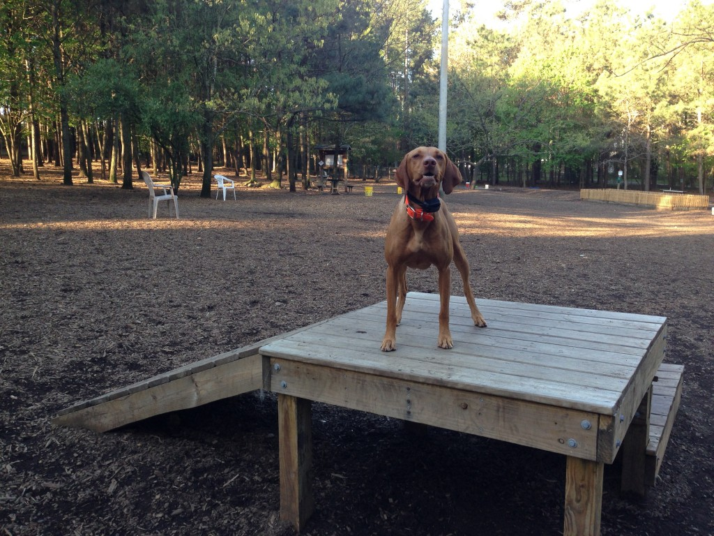 The local dog park has a few pieces of agility equipment.