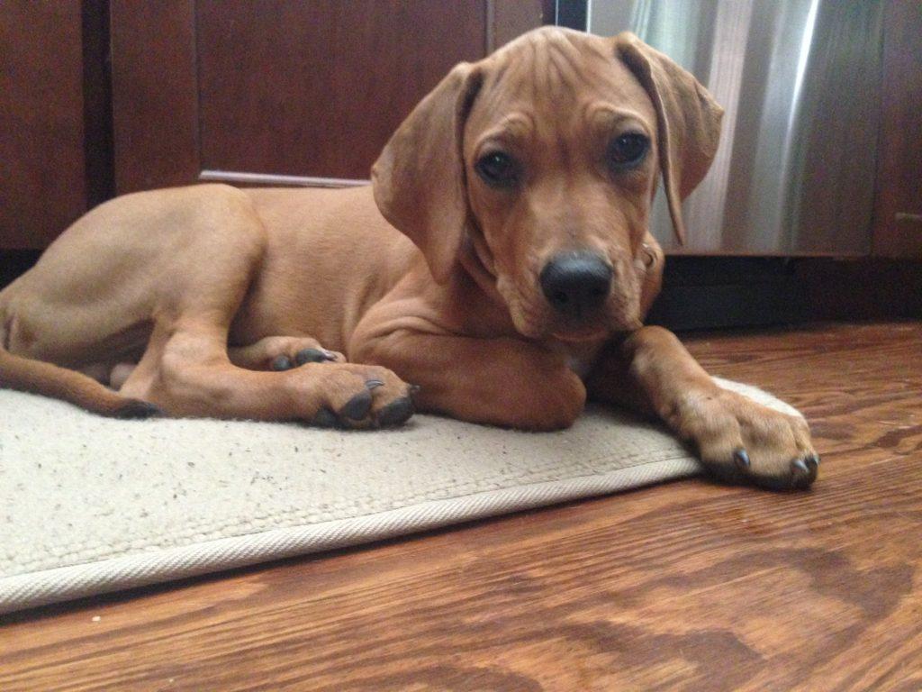 purebred puppy cost