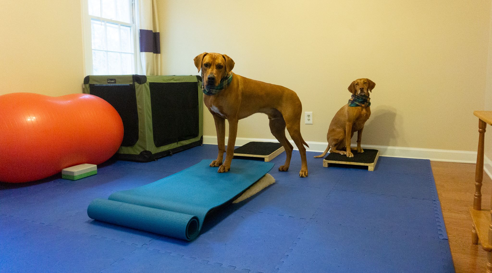 Setting Up a Home Dog Gym