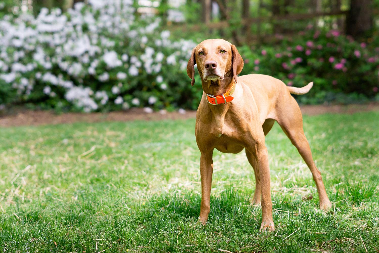 Why I Won't Spay My Next Female Dog