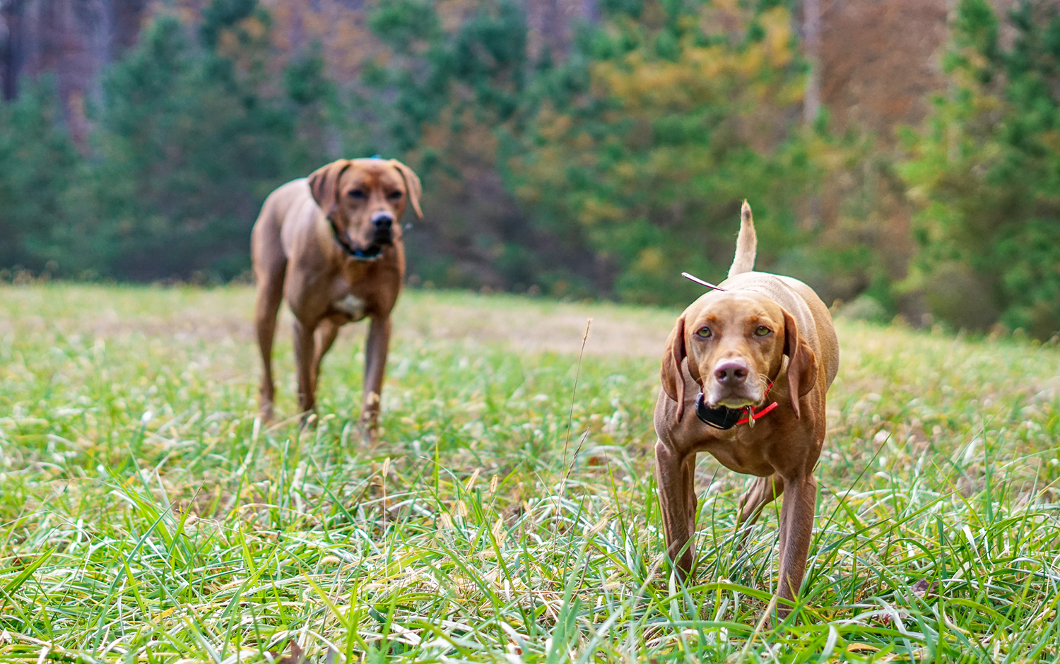 Vizsla vs Ridgeback: What Are the Differences?