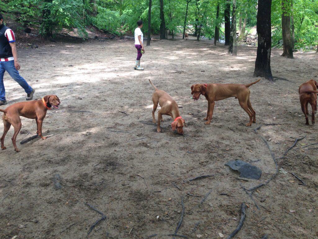 Vizslas at the dog park