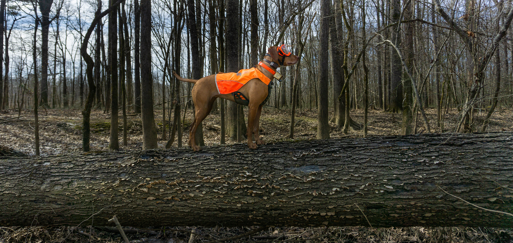Zara stands on a log while hunting woodcock