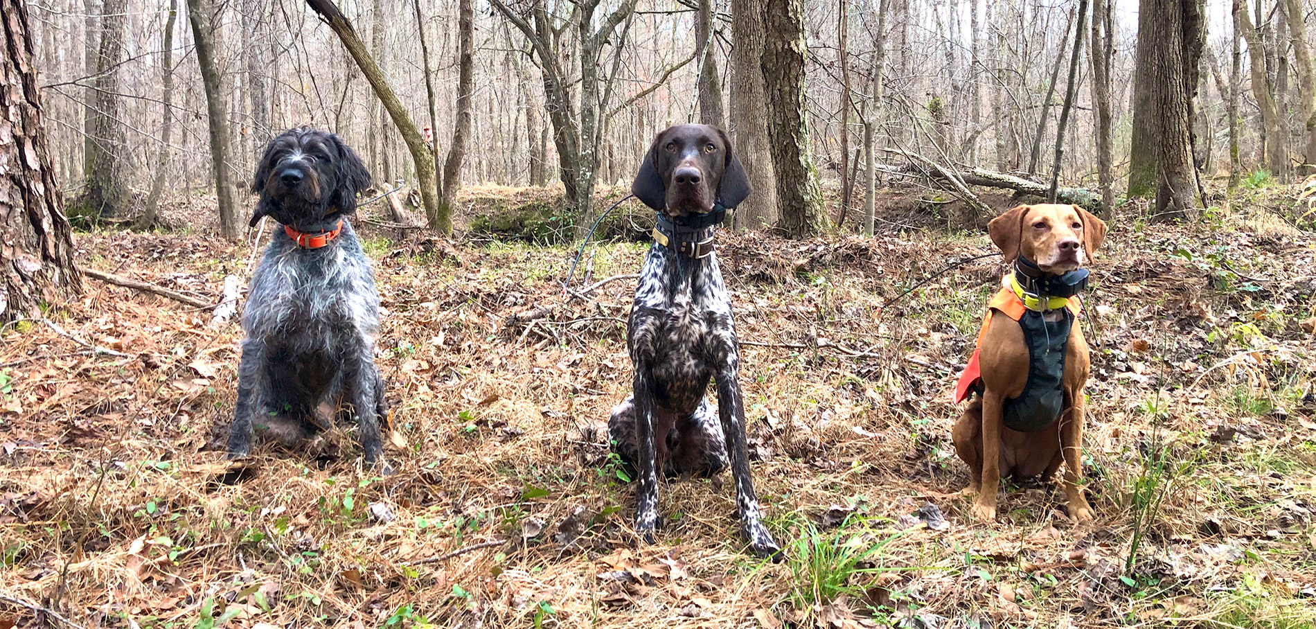 Gus the GWP, Aries the DK, and Zara the vizsla