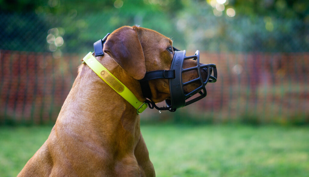 Colombo wears his muzzle
