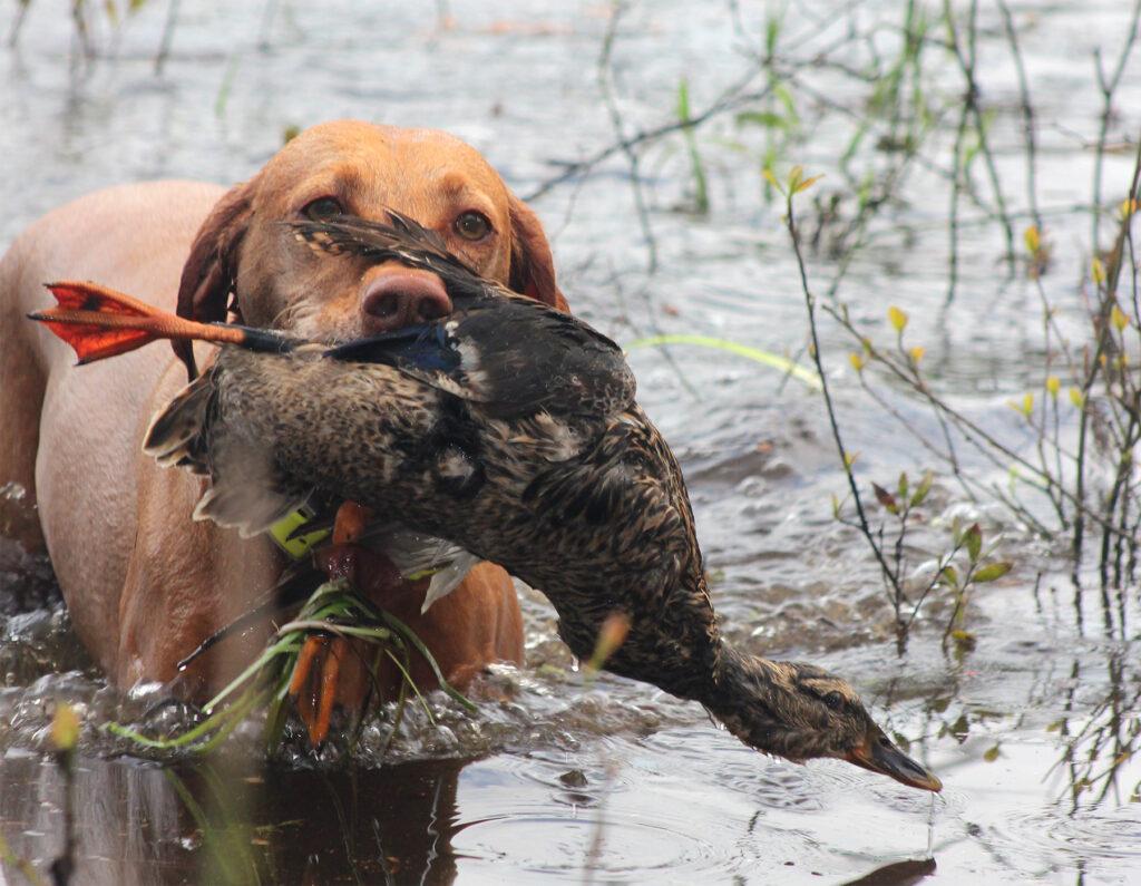 Zara retrieves a duck during duck search training
