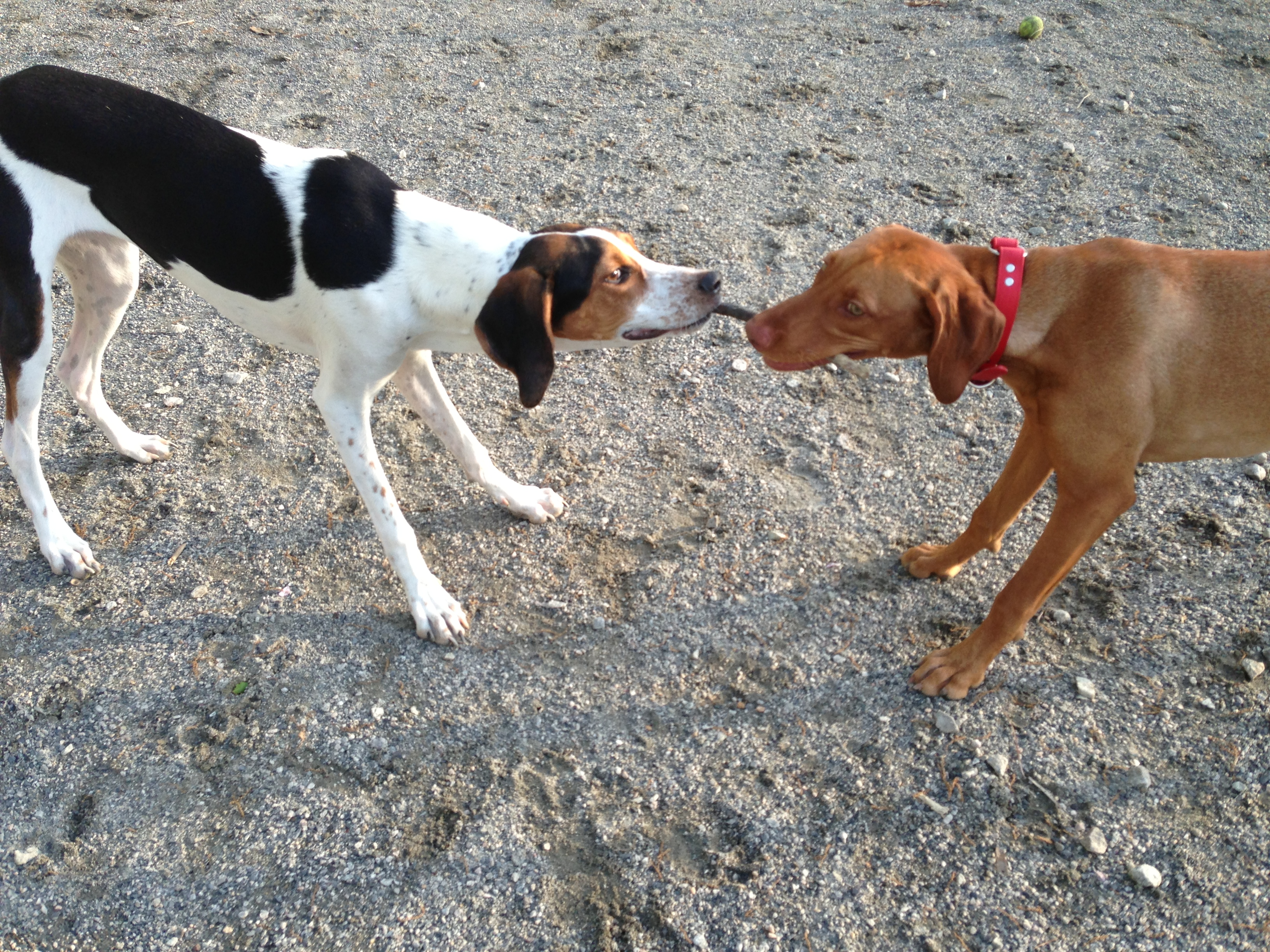 Zara plays with a coonhound