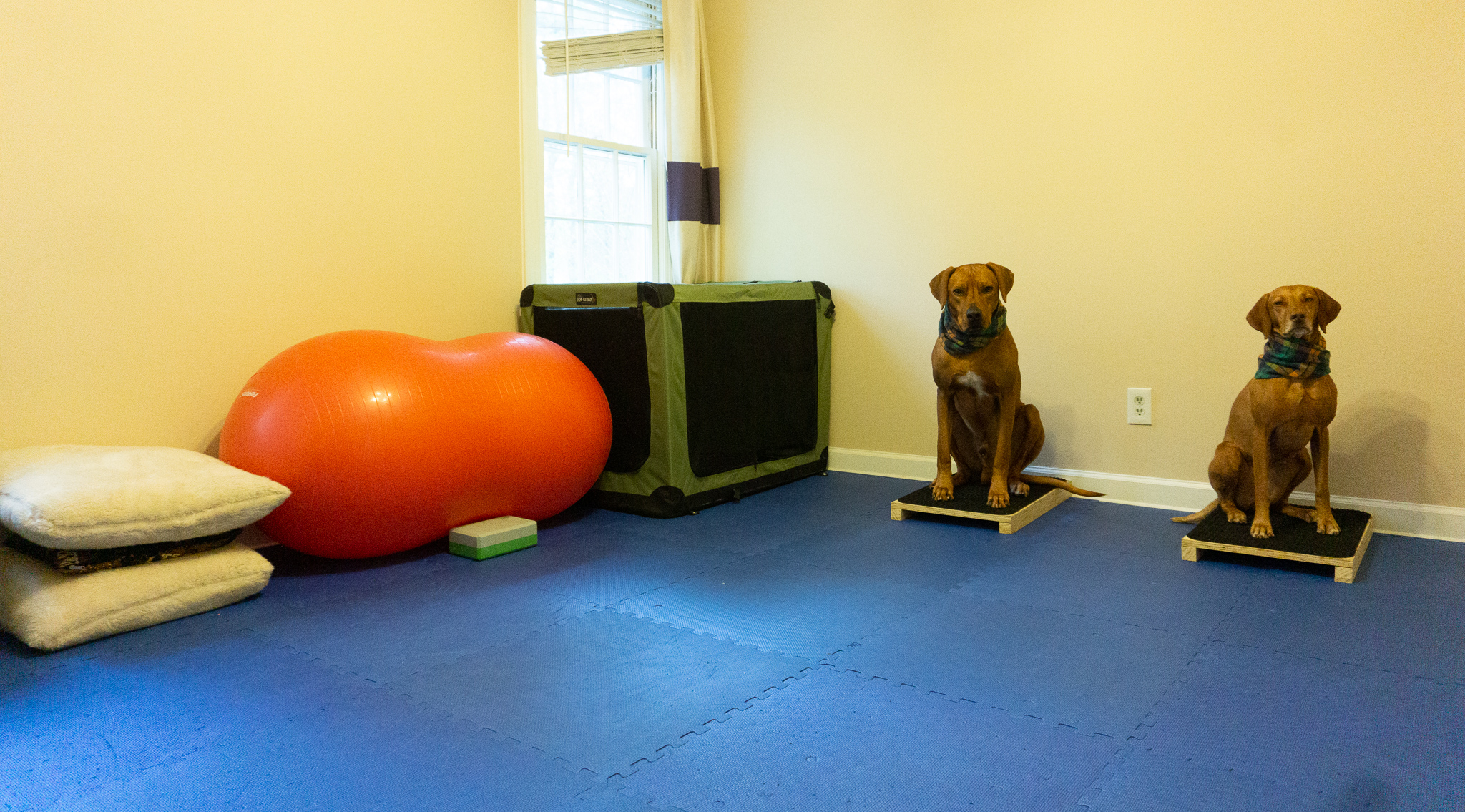 Zara and Colombo in my home dog gym