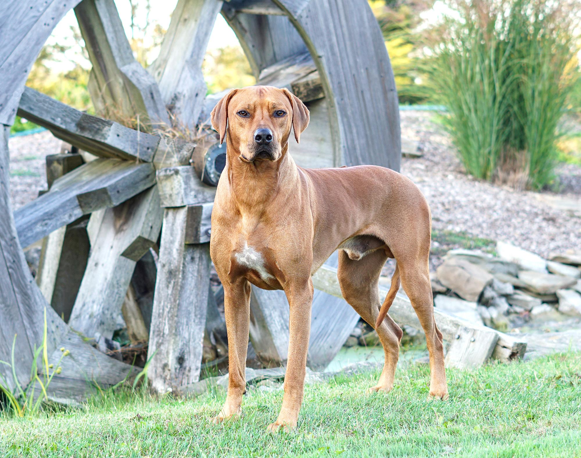 intact male dog