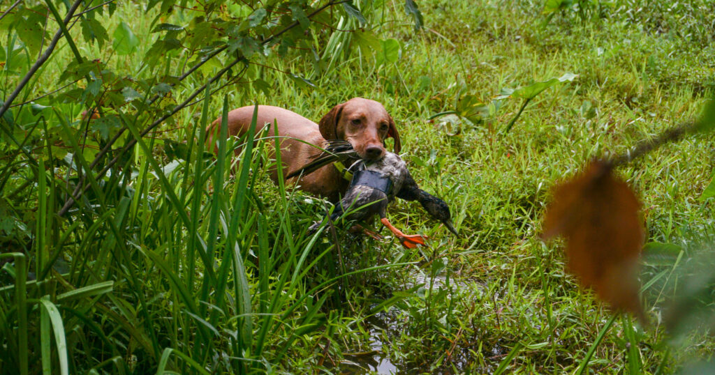 duck search training