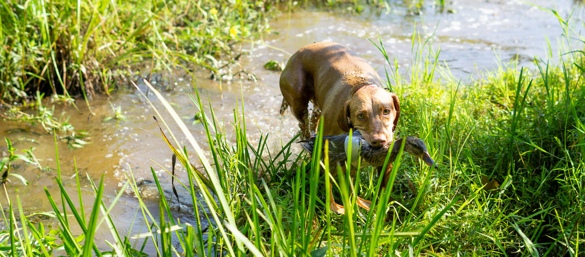 Zara retrieves a live duck during duck search training