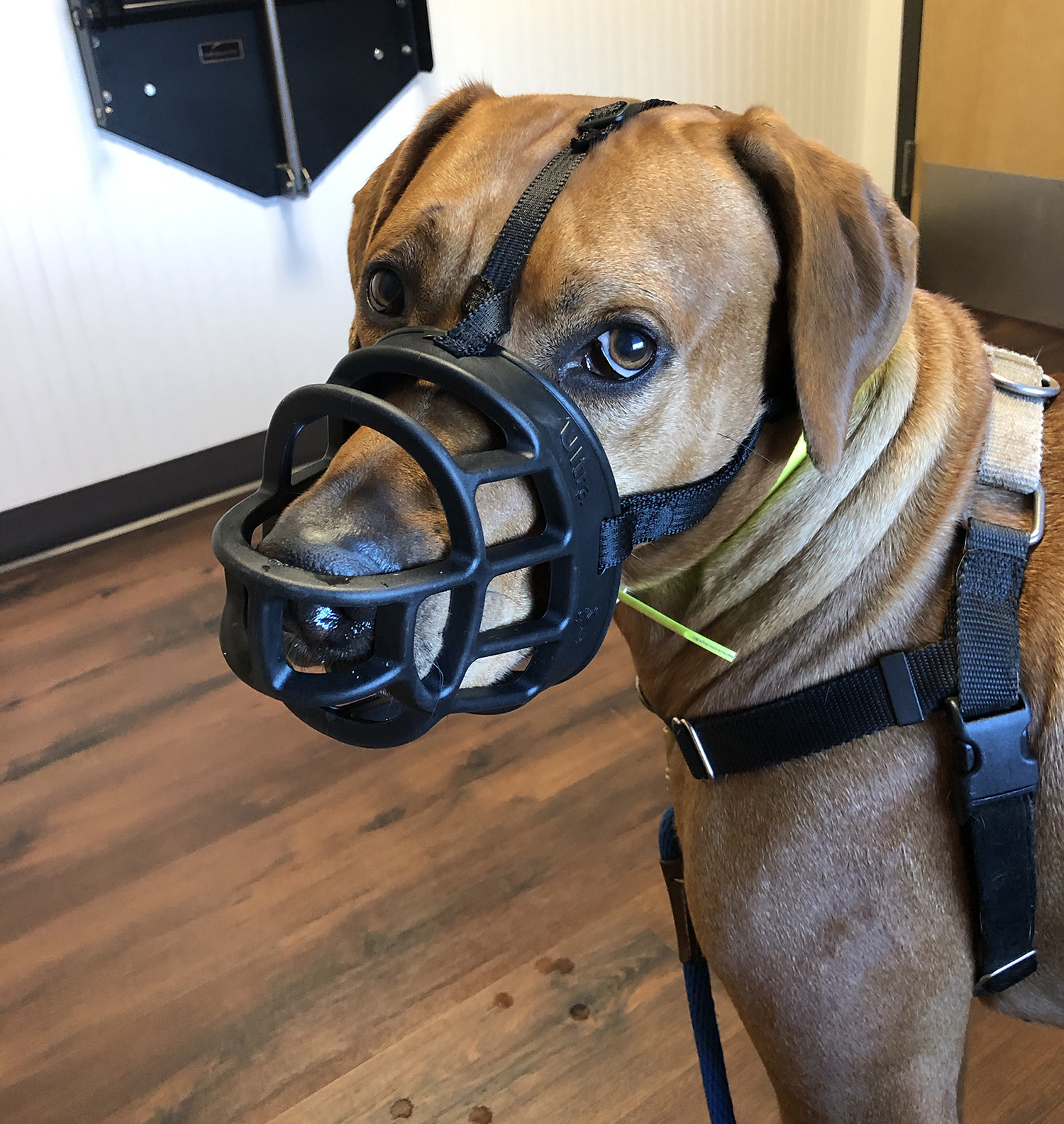 Colombo wears his muzzle at the vet